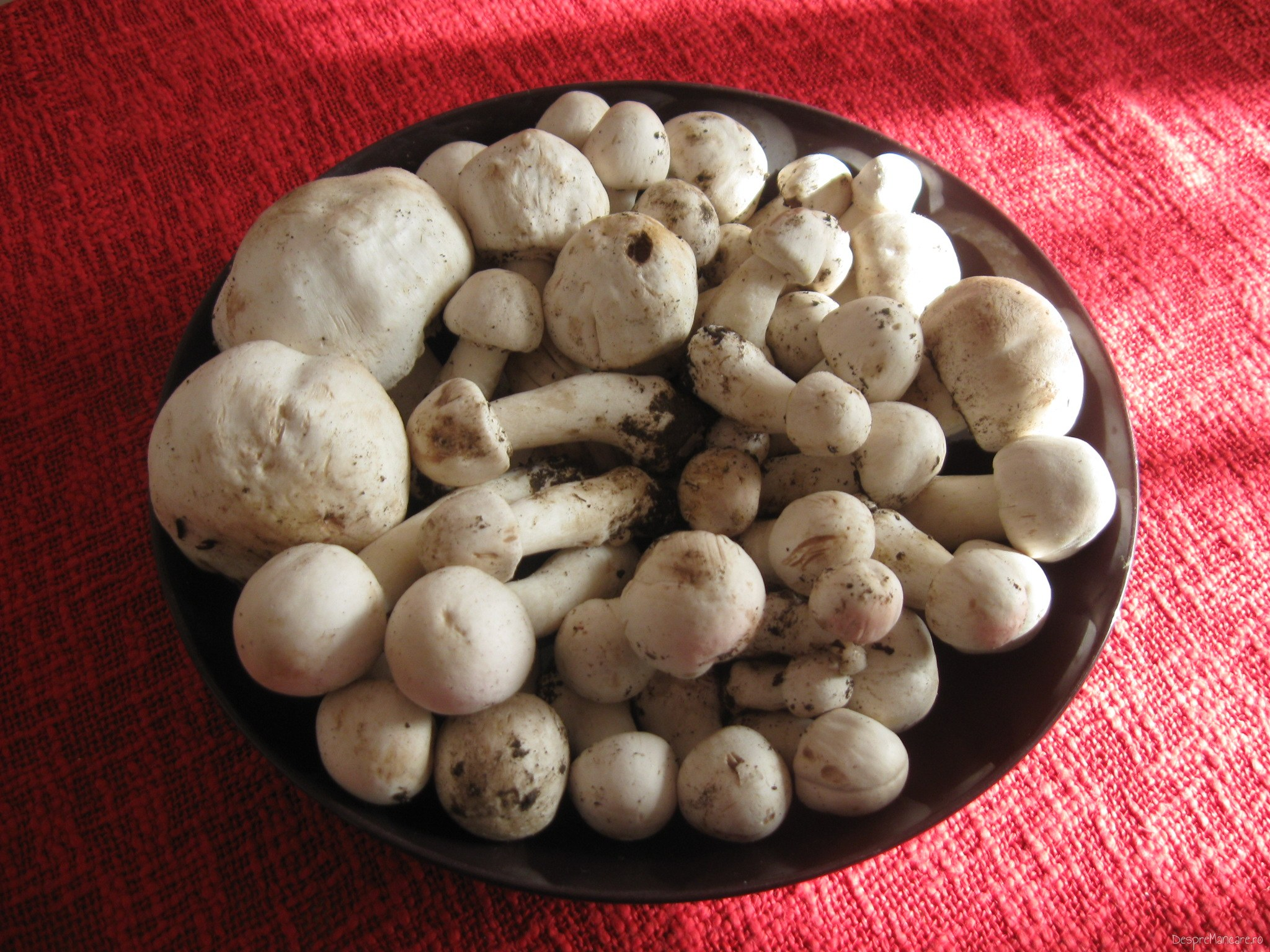 Ciuperci albe de camp.